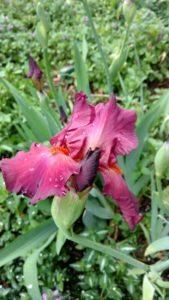 Burgundy iris 2016